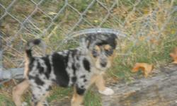 Greman Australian Shepherd Puppy ONLY 1 Female left , 6 Weeks old eating great. This puppy is a mix of Greman Shepherd &Australian Shepherd . She has been wormed and up to date on her Shots. She will