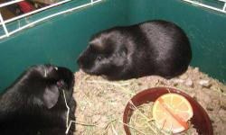 Guinea Pig - Guinea Pigs - Small - Young - Female We have two female guinea pigs who are around 9 months old. They are a little scared but can be handled easily. They were originally rescued from the