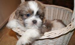 1/4 AKC King Charles Cavalier, 1/4th AKC Havanese, & 1/2 AKC Shih Tzu male puppies. We call them HavaCavaTzus. They are the sweetest little bundles of fluff and fun. Very healthy lineage. $850. Pet ho