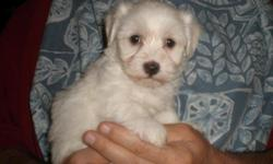 AKC Havanese Puppies AKC Havanese puppies for sale. Easily trainable, loving, affectionate puppies. Great family pets, always want to be with you, no shedding therefore great for people with allergies