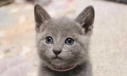 Healthy TwoRussian Blue Kittens ,We happy to inform you that we have Male and female Russian Blue Kittens seeking new homes now. All of the kittens are flea negative and comes with a