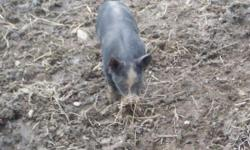 Berkshire bred gilts will be available for sale this fall; we are now taking deposits. We have Berkshire piglets for sale NOW and more that will be ready to go on or after 5/19. These are from top gen