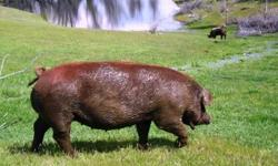 HERITAGE PIGS: Berkshires, Large-Blacks, Tamworths, Red-Wattles, and Various Crossbreeds ... We specialize in highly acclaimed Heritage breeds of Red-Wattles, Large Blacks, Tamworths, and Berkshires -
