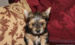Royal Darling Yorkies offers this sweet and adorable yorkshire terrier male puppy. Will be available for new home the beginning of November. International Champion Bloodlines! Lovingly raised in our h