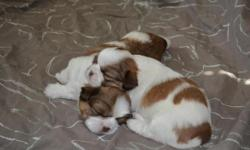I have available two twins, brother and sister imperial Shih Tzu puppies. They are brown and white and are nearly identical. They are currently four weeks old and will be available about December 5th,