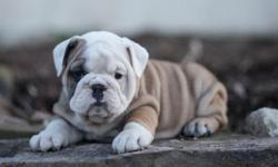 Bsduy English Bulldog Pups for sale $500** male and female available Serious Inquiries only. *** for more get back to me via text only @ (602) x 800 x 6058