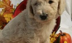 Hi there, Im Keestre, a gorgeous cream F1b standard Labradoodle who is waiting patiently for just the right family! I am so full of snuggles that they just overflow! I think they come from my Mamma! I