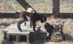 http://www.lostshoeranch.net/ ...For sale Purebred Kiko bucklings with or without papers, get your's picked out before they are all picked over, they won't last long, we have the best Kiko goats in so