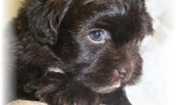 Little Kodiak is a dark rich chocolate little Shih Poo male. Shih Tzu and Toy Poodle making such a nice combination of both breeds. Kodiak should be ready by November 17-24th. Each week little Kodiak'