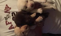 AKC Lab Puppies. Chocolate- 1 male/1 female , Yellow- 4 males (2 are solid white). Will make excellent hunting/ retrieving dogs and/or excellent companion.