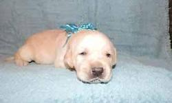 We have 7 males in this litter. DOB: 11-22-14. They are $700 AKC restricted reg. or $900 AKC full reg.(breeding rights). Mother is yellow and father is White. They have terrific Championship Bloodline