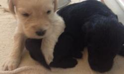 Labradoodles F-1 yellow/white 2M 5F, Black 1M 3F and 1 chocolate male. Mom is a AKC Standard Poodle and dad is a AKC Labrador retriever. The puppies will be current on vaccinations, worming, dewclaws