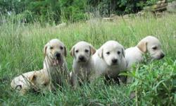 We have a litter of 75% lab, 25% hound puppies, the mother is half hound, half lab and the father is a full-blooded lab, both are gentle, obedient and intelligent. $200 each for males, $250 for female