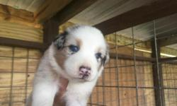 Levi is a AKC handsome Blue Merle Male with blue eyes he was born 10/09/2015 He will come with age appropriate vaccinations, tail docked, and dew claws removed. Dam is a Blue Merle with blue eyes and