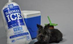 Lionhead - Kerfluffle - Small - Adult - Female - Rabbit Kerfluffle is about 2 years old. Her adoption fee is $25. CHARACTERISTICS: Breed: Lionhead Size: Small Petfinder ID: 23412556 CONTACT: Young - W