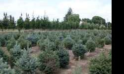"Nielsen Tree Farms has a great variety of high-quality, dug-to-order trees for sale this fall. No ""left-overs"" from spring. 3'-4' Colorado, Norway, White and Black Hills spruce $32/tree. 4'-5' spruce"