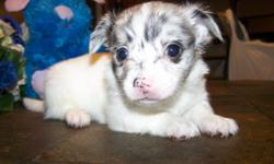 Long coat Chihuahua puppies ckc registered   , $500.00 each , father gorgeous blue merle long coat  Chihuahua , mother black and white long coat with tan points Chihuahua  , parent