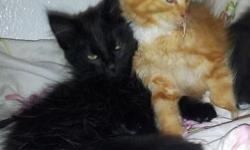 Maine Coon Kittens For Sale Seattle Purebred Maine-coon fluffy