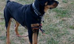 Young Male german rottweiler 8months for sale, beautiful, obedience trained, shots up to date, very healthy at 90lbs already! Was neutered last month, no papers- unplanned litter,loves people other do
