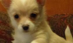 Two super sweet babies, one male one female. Puppy pad trained and eating hard food -- Not yappy at all. They have been raised in our home and under foot, with other dogs and cats. These babies are th