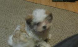 Male maltese/pekingese born March 1, 2015 ready for his new home. Very sweet, playful, and loving. He should be 6 to 12 pound and around 10 inches tall. The parnets are my pets and dad is a maltese an