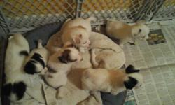 I have 5 cute puppies will be 8wks Nov 8th and ready for forever families 2 males 3 females They will be tiny and low on shedding. Please text or call 810 941-7554 thank you