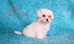 Last three Maltese puppies. Born on August 27, 2015. Raised in my home where they have been well cared for. Vet checked on 10/28/15. Flea free, had two sets of shots, dew claws removed, wormed four ti