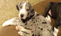 We are a small breeder which breeds our Harlequin AKC registered Great Dane, Maggie, once a year. This is her 4th litter and she had 10 puppies this time. This merle mantle male was sold at one time w