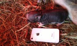 I have a new litter of micro potbellied pigs for sale...mom is25 pounds and and the dad is 15 I have 3 litters the other litter the mom is 27lbs and the dad is 8 pounds the third litter the mom is a s
