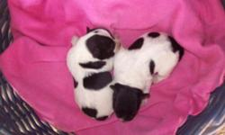 Min Schnauzer Pups ( 2 females), black/white parti, born Oct.1 st- ready about latter Nov. $400 each, will meet-gas fee. Call at 256-659-6873. Email for pics/info of kennels. Visits welcome. (will be