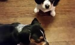 I have two beautiful Mini Dachshund puppies left. 8 weeks old and ready to go. They have been raised inside and well socialized with cats, dogs and children. They will be under 10 pounds fully grown a