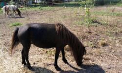 """Sweetpea is just like her name. She is about 27"""", not sure of her age but a youngster. She is a dark brown/black with a light muzzle. Possibly in foal to a blk & wht. Halter broke and jumps right in t"""