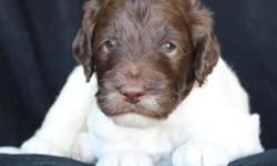Tessa, a chocolate Labradoodle, was bred to Nacho, a golden Goldendoodle and they had 7 beautiful babies on September 8th. The puppies will be going home November 7th. These babies will be mostly medi
