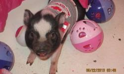 WE HAVE ADORABUL MINI PIG BABYS FROM TWO HUNRED TWO SENTY FIVE THIS WEEL INN CHECK OUT CHARLOTTES WEB MINI PIGS THEY ARE VERY SMART VERY EASLY TRAINED IN DOOR PET FOR EVER ADORABUL NO FLEAS NO SHEDING