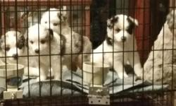 We have a gorgeous litter of puppies. 5 Blue Merles Females and 1 Blue Merle Male, all of our Merles have blue eyes. We also have a Beautiful Black Tri Female. They are 7 weeks old and will go home wi