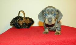 Rare and hard to find Blue/Tan Miniature Dachshund. Registered, short hair Male. $900 Currently accepting deposits. He will be ready for his new home after November 18th. He will come with up-to-date
