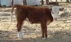 J and M Farm is a small family owned farm specializing in registered miniature hereford cattle. We are located in Magnolia, Tx just north of Houston. We are starting to wean our 2011 calves now just i