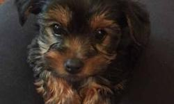Beautiful Yorkie puppies ready to find good loving homes. I have 2girls and 3boys available. They eating solids, chicken and rice or puppy dog food and ekanuba dry puppy pellets. They have had 2 baths