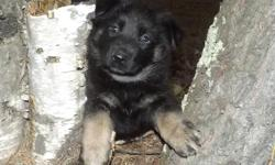 MLM0203 Female...She is Black, Tan, and Silver in color. She is another Beauty! She is such a nice pup. She has a GREEN collar on her. This girl was born on October 6th, 2015. This puppies parents hav