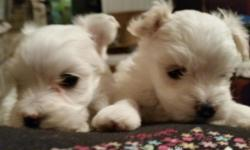 Two tiny Maltipoo male babies born June 21. 3/4 maltese 1/4 black poodle. Mom weighs 4 1/2 Lbs. Ready to go between September 29 and October 13 depending on maturity and developement. 10 to 12 weeks o