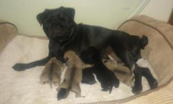 Adorable Litter of AKC Purebred Pugs Born 11/2 - Will be Ready for their forever Homes on 1/1/16 $1000 ea (inc AKC puppy paperwork) Deposits being accepted for pick ($250) 5 Puppies: 2 Black Males 2 F