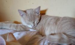 Short hair tan tabby guy with sweet personality. His favored buddy is his blue-eyed bro that has white coat with orange highlights in his face, ears and tail. Tan guy loves hugs and looks for affectio