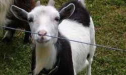 Dafadil is a 2yr old Nigerian Dwarf Doe. She had twin doelings this spring and is a great mother. She is friendly and easy going. I am selling her because she would adjust to a new home better than th