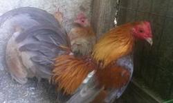 I have several colors of old English bantams for sale. Breeds include bb red, golden duckwing, black, blue red, blue golden duckwing, black quail, blue Wheaton, blue quail, & blue quail splash/sports.