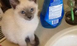 Breeding old fashion Applehead siamese kittens for over 20 years in Frederick MD.Bred for pet quality only. Parents on site. Kittens are raised in a loving home and are well socialized, li
