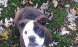 We have a female Olde English Bulldog puppy born on June 25 , 2015. She is current on all shots and 100% healthy. She is IOEBA registered and will come with her temporary puppy registration so you can