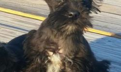 I have one female CKC registered Miniature Schnauzer puppy left. Born September 5. Will be small. Mom and dad weigh 7 lbs each. Tail docked, first shots, and dewormed. Located near Fort Payne, Alabama