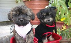 Sweet & & Tiny! Yorkipoo young puppies (Yorkshire Terrier and Poodle) 8 weeks old and ready to be your brand-new finest friend !! Non-shedding, hypoallergenic. Cash, MC/VISA or Paypal is accepted. The