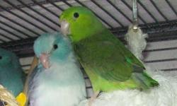 I have a young bonded pair of Parrotlets to rehome. The male is Blue and white, the female is green. Both have the ability to talk. (they are not related) Both are just under a year old. Will come wit