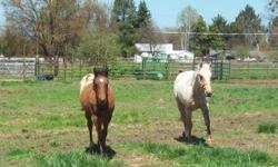 Sheldon is a 2 yr old Palomino QH gelding. 13:2-3 hh per tape measure. Should mature 14:2hh +. Halter broke, ties well, loads, good for farrier. Saddles, no buck. Lunges. Sweet, smart, and willing! Wi